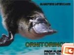 Ornitorincul